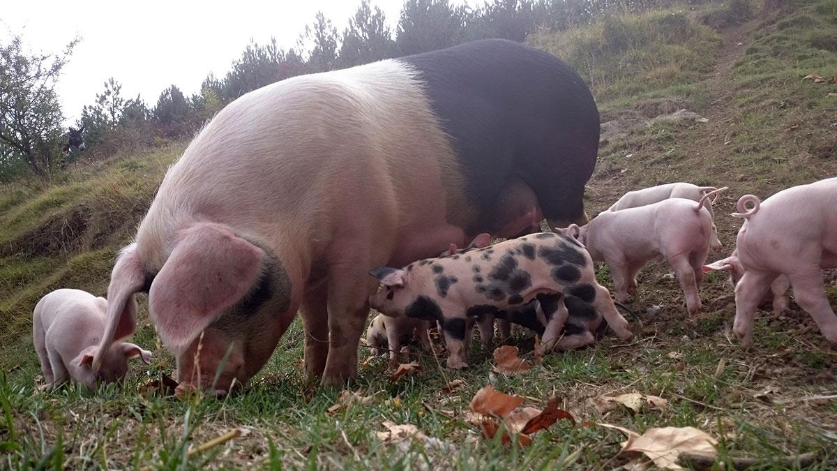 gorrines en granja escuela en Navarra